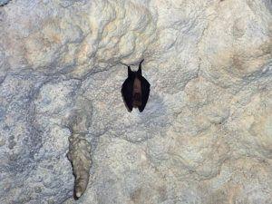 Murcielago de herradura